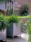 Agapanthus africanus (Afrikanische Schmucklilien)