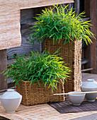 Pogonatherum paniceum (room bamboo)