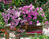 Petunia Calimero 'Rose', 'Candy' (Petunia)