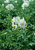 Wothe : Solanum tuberosum (Kartoffel)