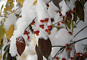Euonymus (spindle tree), fruit in the snow