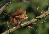 Sciurus vulgaris (squirrel) consumes a nut