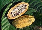 Theobroma (cocoa), pod with cocoa beans