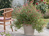 Salvia microphylla (baby sage), wooden armchair