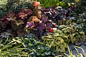 Heuchera 'Peppermint Ice', 'Sugar Frosting', 'Amber Waves'