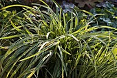 Carex morrowii 'Ice Dance' (Japansegge)