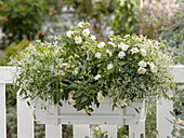 White balcony box with Euphorbia 'Diamond Frost'