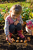 Girl placing onions of tulipa (tulip) to plant in the bed
