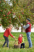 Family picking apple on orchard meadow