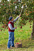 Grandfather picking apple on orchard meadow