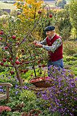 Grandfather picking apples 'Rewena'
