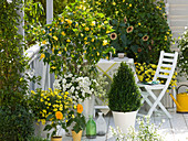 Yellow and white balcony with Abutilon, Petunia (Petunia)