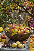 Basket of freshly picked malus (apples)