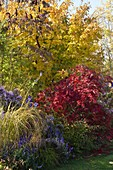 Autumnal bed with Parrotia (ironwood tree), Acer palmatum