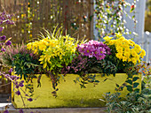 Autumn box with Chrysanthemum (autumn chrysanthemum), Calluna
