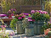 Cyclamen (Cyclamen), Chrysanthemum grandiflorum