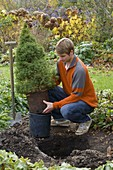 Man plants picea glauca 'Conica' (sugarloaf spruce) in the bed