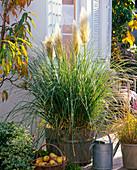 Cortaderia selloana 'Evita' (Dwarf Pampas Grass)