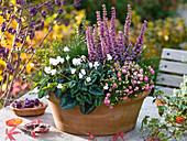 Erica gracilis 'Beauty Queen Silvia', Cyclamen Hederifolium