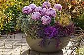 Chrysanthemum grandiflorum 'Malabar'