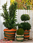 Winter protection for evergreen trees on the balcony