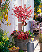 Wooden tub with Euonymus alatus in autumn
