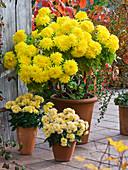 Chrysanthemum indicum (Herbstchrysanthemen) in Tontöpfen