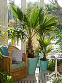 Winter garden with Washingtonia (Washington palm tree), Chamaerops