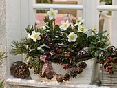 Wooden flower box with Helleborus niger, Gaultheria