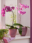 Phalaenopsis (Malayenblume, Schmetterlingsorchidee) an Orchideenstäben