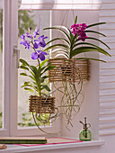 Vanda orchids in home-made bamboo basket