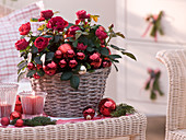 Pink (pot-rose) in basket, festively decorated