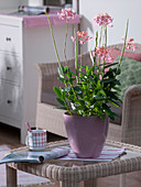 Epidendrum hybrid (tropical orchid) in pink glass planter