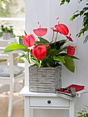 Anthurium, in a square pot of wicker