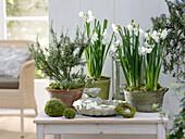 Narcissus 'Inbal' (Tazett Narcissus), Rosmarinus (Rosemary)
