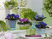 Saintpaulia Ionantha (African Violet), Adiantum 'Fragrans'