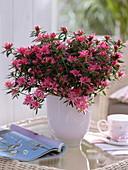 Rhododendron simsii 'Kinku Saku' (Room Azalea)