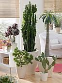 Living room with Euphorbia trigona, Crassula