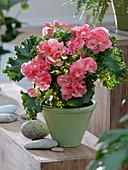 Begonia 'Bodinia' (Begonie)