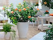 Hibiscus rosa sinensis with orange flowers, asparagus