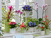 Plants available to buy all year round, Phalaenopsis