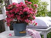 Rhododendron simsii 'Kinku Saku' (room azalea), new breeding