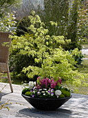 Acer palmatum 'Dissectum' (Japanese green maple)