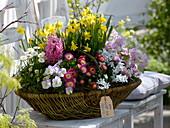 Korb mit Frühlingsblühern : Narcissus 'Tete a Tete' (Narzissen), Bellis