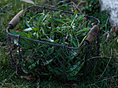 Basket with gouged Taraxacum (dandelion)