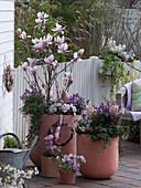 Large tubs of Magnolia soulangeana (tulip magnolia)