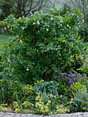 Staphylea colchica (Klappernuss), Euphorbia (Wolfsmilch), Aconitum