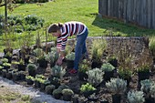 Before planting, display the shrubs on the flowerbed