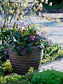 Bergenia 'Harzkristall' 'Rosenkristall' in terracotta pot