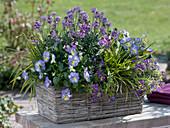 Erysimum Poem 'Lavender', Viola 'Etain'